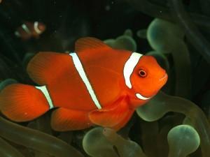 clown-fish_500_600x450-300x225