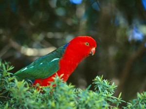 king-parrot_593_600x450