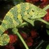 meller-chameleon_628_600x450