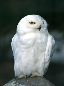 snowy-owl_714_600x450