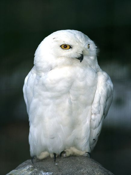 Snowy Owl Facts For Kids - Info